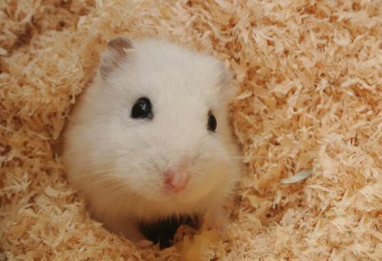 仓鼠发出叫声的原因是什么?