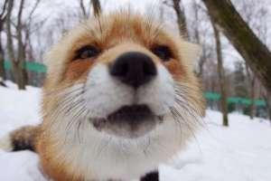 狐狸能当宠物养吗?